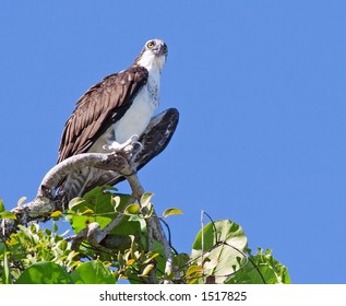 Osprey in Costa Rica