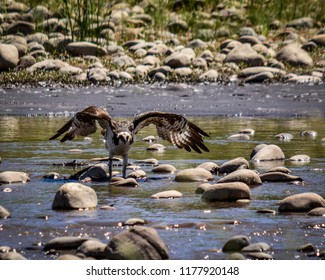 Osprey in Disbelief of Drought Standing in River