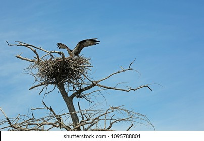 Osprey and dry tree - Reelfoot Lake State Park, Tennessee