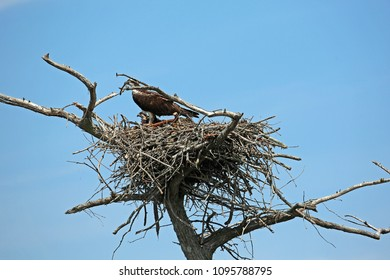 Osprey family - Reelfoot Lake State Park, Tennessee