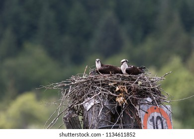 Osprey Feeding Chick in nest, Pitt lake, Vancouver BC Canada