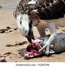 Osprey Feeding on Fish
