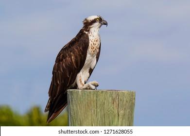 Osprey Fish Hawk Perched On Alert On Fishing Pier Post