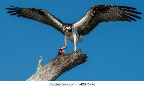 Osprey With Fish At Lovers Key State Park Florida