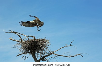 Osprey with a fish - Reelfoot Lake State Park, Tennessee