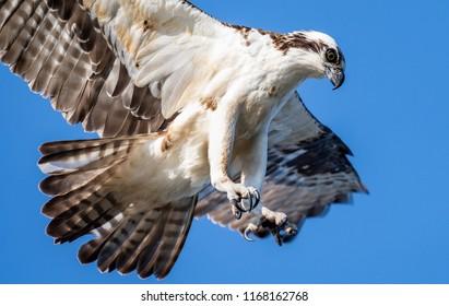 An Osprey Fishing