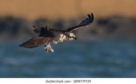 An Osprey Fishing in the Ocean in Florida