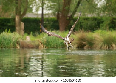 An Osprey fishing for trout