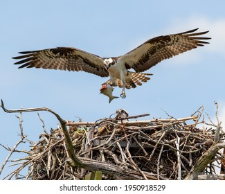 Osprey flies to nest with fish in talons to feed chicks.