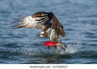 An osprey flies off with a kokanee salmon after catching it in Hayden Lake in north Idaho.