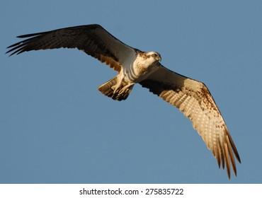 Osprey flight