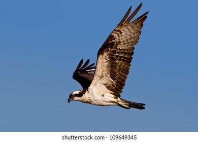Osprey in flight against a blue sky.