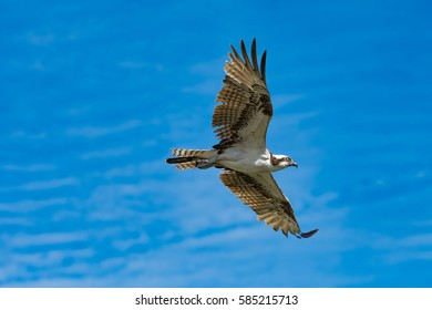 An Osprey in flight against a blue sky with paint brush clouds.