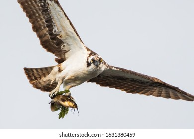 Osprey in flight carrying a catfish showing off its impressive wingspan and making eye contact with the camera with its piercing yellow eyes