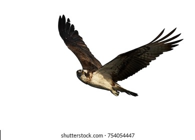 Osprey in flight isolated on a white background