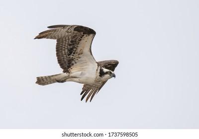 Osprey fly in the sky