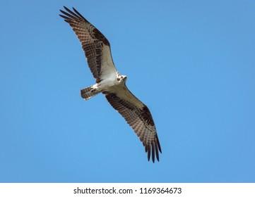 Osprey Flying Blue Sky