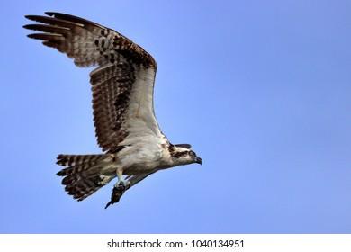 Osprey flying closeup