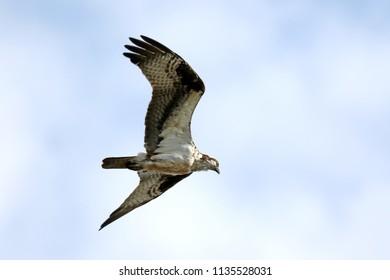 Osprey flying overhead.