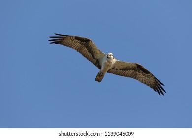 Osprey Flying Overhead