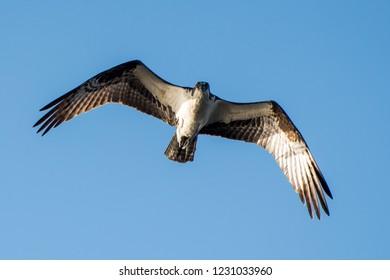An osprey flying overhead.