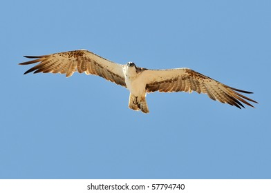 osprey flying (pandion haliaetus)