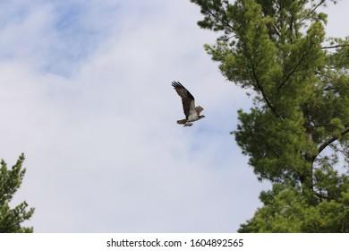 Osprey flying with prey in Quebec, Canada.