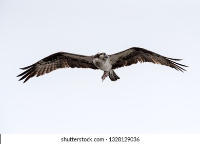 An osprey flying with remains of fish.