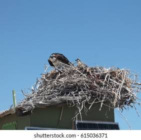An Osprey guarding her nest in a Mexican lagoon