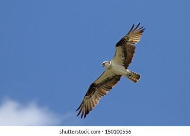 Osprey the Hunter