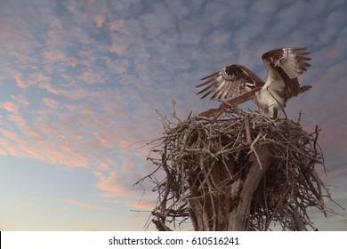 Osprey Lands on It's Nest as the Sun Sets
