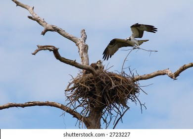 An Osprey in mid-flight bringing materials for building its nest