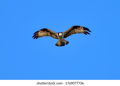 Osprey (Misago) is searching for prey while hovering in the blue sky background