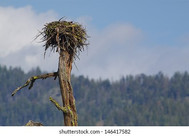 Osprey nest atop a dead tree with woodlands and blue sky in the background Ospreys are also known as Sea Hawks, Seahawks, Fish Hawks, Sea Eagles, Pandion haliaetus