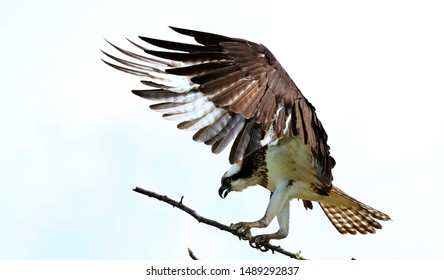 Osprey on the nest, fly with fish, youngsters learn to fly.