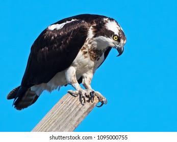 Osprey on Nest Pole