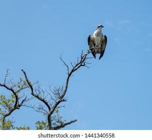Osprey on Sanibel Island, Florida