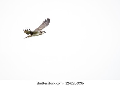 Osprey over pond at Atlas Tack Superfund site in Fairhaven, Massachusetts