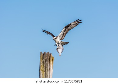 Osprey (Pandion haliaetus) approaches a landing site on an old wooden piling with a flatfish, photographed in late summer against a clear blue sky on Jetty Island in Puget Sound off Everett, WA.