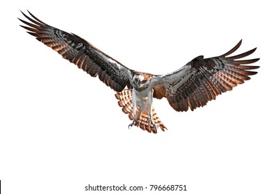 Osprey (Pandion haliaetus) in flight isolated on a white background
