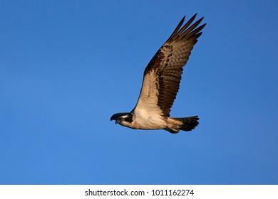 Osprey (Pandion haliaetus) in flight in its natural habitat