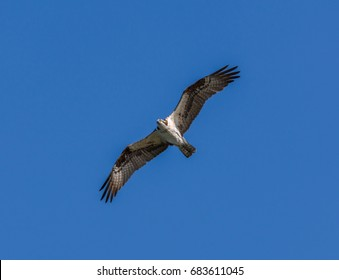 Osprey (Pandion haliaetus) flying with a clear blue sky in the background, photographed in summer on Jetty Island in Puget Sound off Everett, Washington.