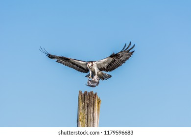 Osprey (Pandion haliaetus) landing on an old wooden piling with a flatfish, photographed in late summer against a clear blue sky on Jetty Island in Puget Sound off Everett, Washington.