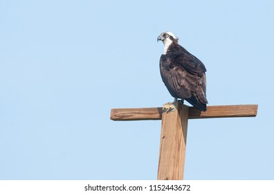 An osprey (Pandion haliaetus) perched on a post