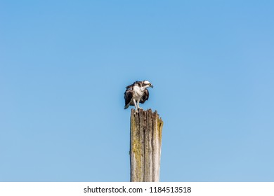 Osprey (Pandion haliaetus) perched on an old wooden piling, photographed in late summer against a clear blue sky on Jetty Island in Puget Sound off Everett, Washington.