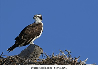 Osprey (Pandion haliaetus) standing on a large nest looking in the distance for his mate.