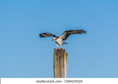 Osprey (Pandion haliaetus) with its wings spread perched on an old wooden piling with a flatfish, photographed in late summer against a clear blue sky on Jetty Island in Puget Sound off Everett, WA.