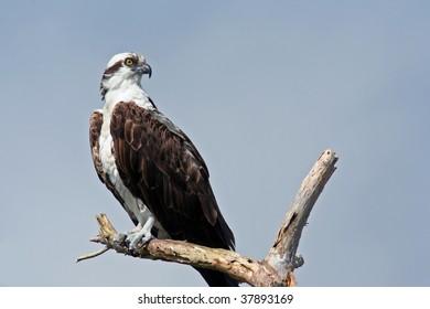 Osprey (Panrion haliaetus)