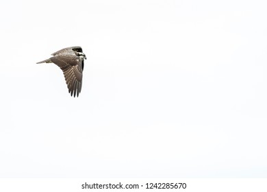 Osprey paying close attention over pond at Atlas Tack Superfund site in Fairhaven, Massachusetts