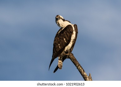 Osprey perched atop a dead tree in the morning sunlight against a bright blue sky